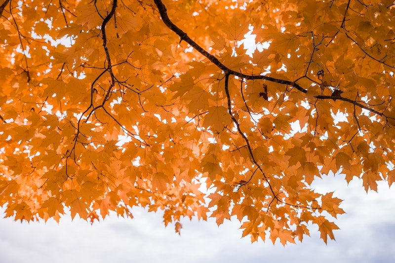 orange leaves on tree canopy during the daytime