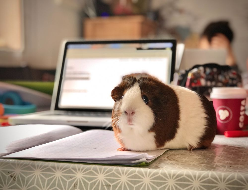 photo of a white and brown guinea pig standing on an open notebook in front of an open laptop and a take-out coffee cup