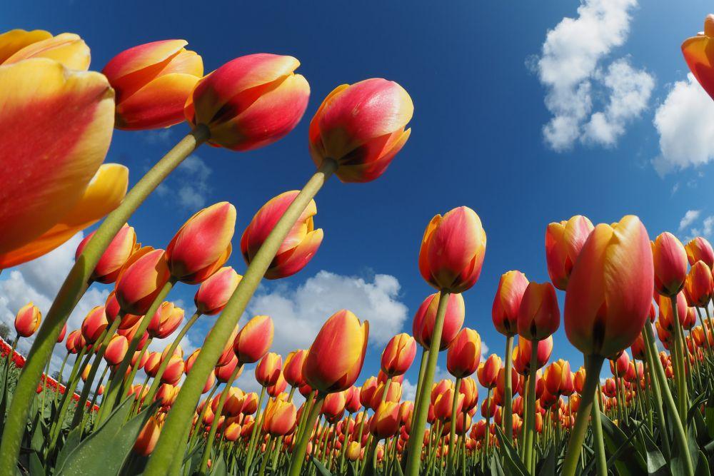 Worm's eye view photo of tulips in Den Helder, Netherlands