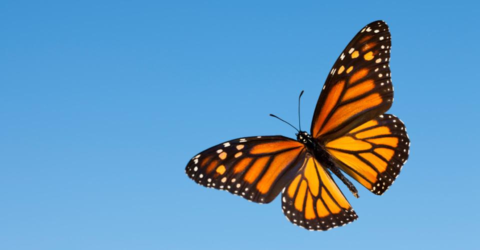 Central-America-Monarchs-Photo-2-butterfly.jpg